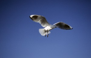 Black-billed Gull, Larus bulleri, in flight against sky