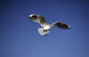 Black-billed Gull, Larus bulleri, in flight against sky